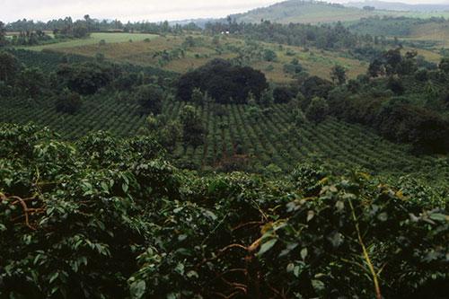 Кавова плантація в Танзанії